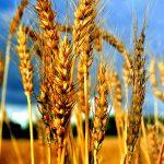 Применение масла зародышей пшеницы в домашней косметологии