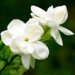 Масло жасмина для лица, применение в домашних условиях